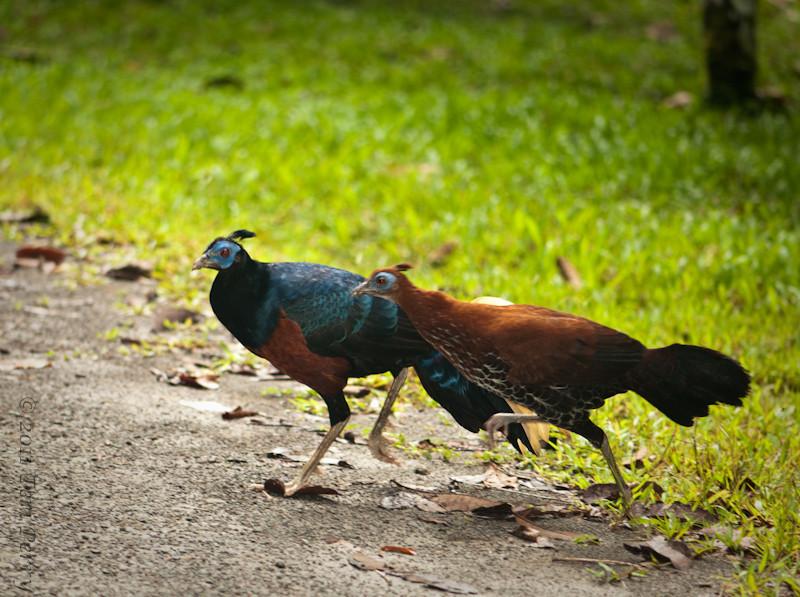 Pheasants crossing the road--Malayan Crested Fireback, Lophura ignita rufa I thinl