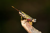 ?Grasshopper?