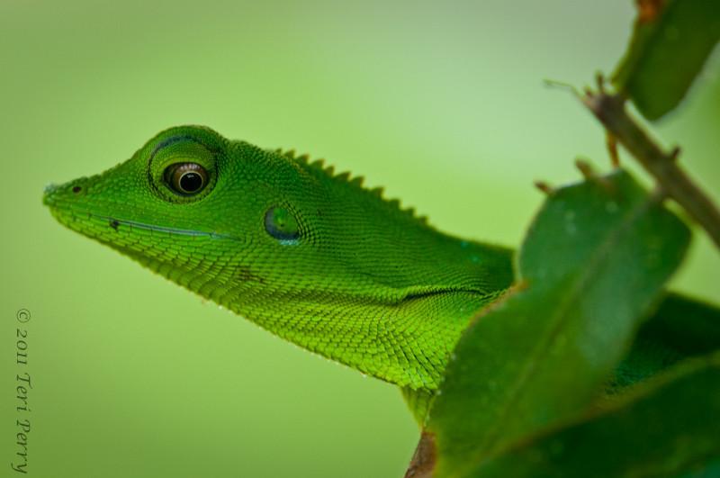 Wonderful lizard with a smirk....Green Fence Lizard (Bronchocoela cristatella) I think
