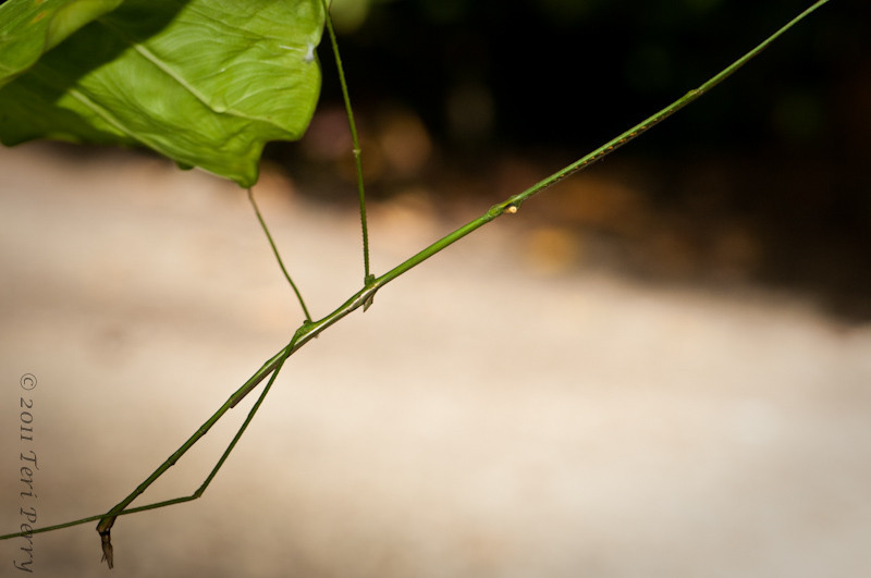 Phasmatodea (sometimes called Phasmida) are an order of insects, whose members are variously known as stick insects
