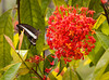 Ixora (known in Hawaii as the Mac Donald's plant) works well in front of Borneo Ranforest Lodge to attract butterflies