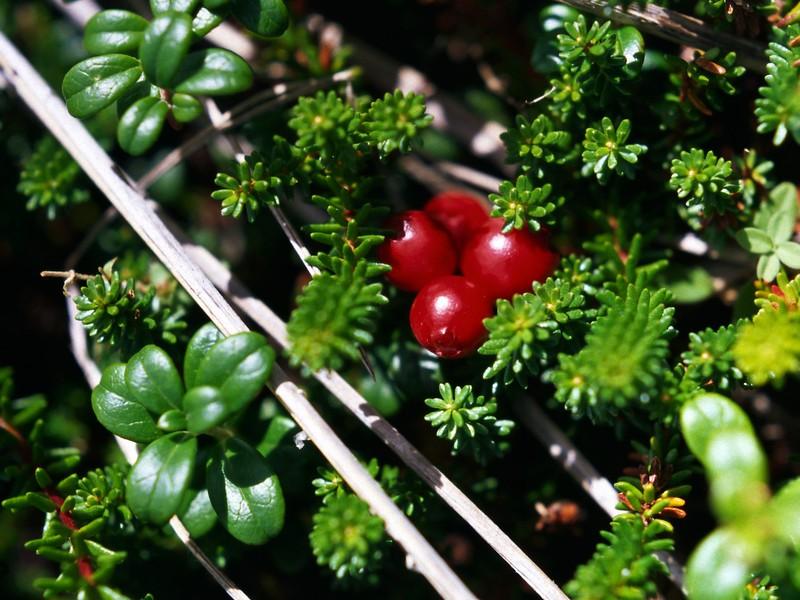 Wild cranberries near Tor Bay, Nova Scotia, 8/04