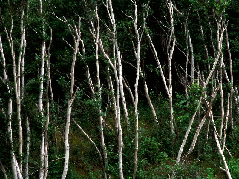 Birch grove, Cape Breton Island, Nova Scotia, 8/04