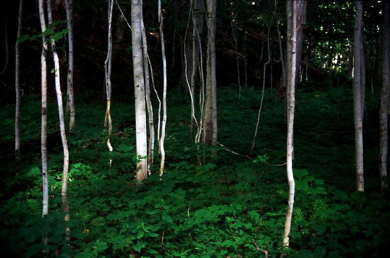 Young birches, Lone Shieling Trail, Cape Breton Highlands National Park, Nova Scotia, 8/04