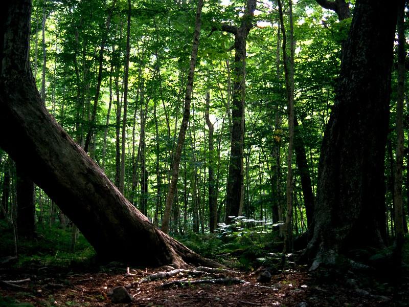 Ancient maples, Lone Shieling Trail, Cape Breton Highlands National Park, Nova Scotia, 8/04