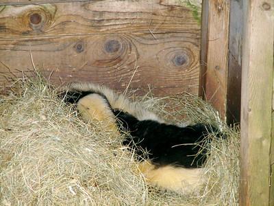 Skunk -- don't worry, he's been de-stinked