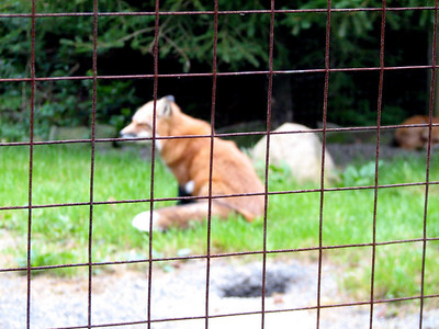 Didn't get the focus quite right on this red fox