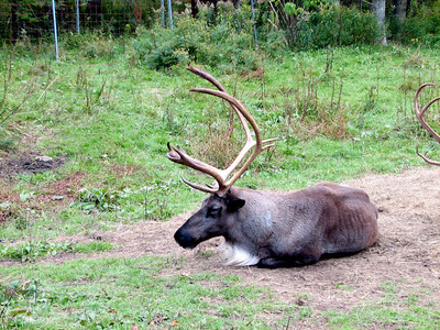 Reindeer resting up before Christmas comes