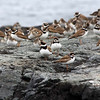 Colony of Plovers at Cape Forchu