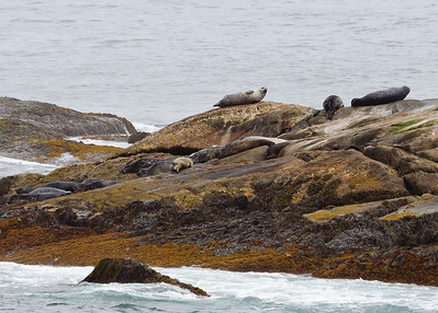Seals in Kejimkujik National Park
