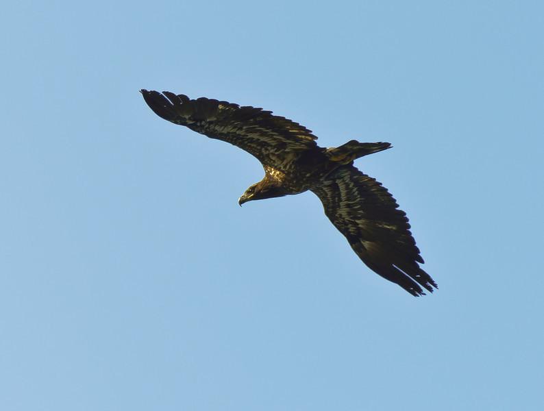 Immature Eagle?