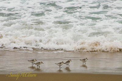 Sandpipers run on Hirtles Beach, near Riverport, NS.