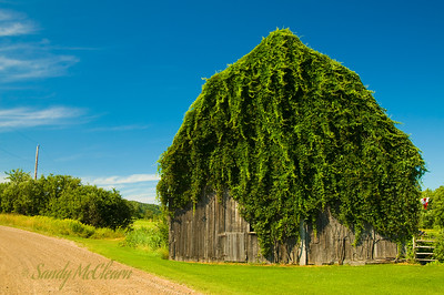 An ivy covered barn on the road to Londonderry, Nova Scotia.