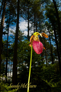 A Lady Slipper in the forest, taken from below.