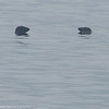 Seals we could see playing from the house.<br /> Hunts Point, Nova Scotia