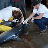 Lockeport Shark Derby, Nova Scotia<br /> The inspectors measuring the sharks.<br /> Very interesting to watch and learn.
