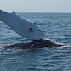 Bay of Fundy, Nova Scotia<br /> Mother and baby Humpback whale.