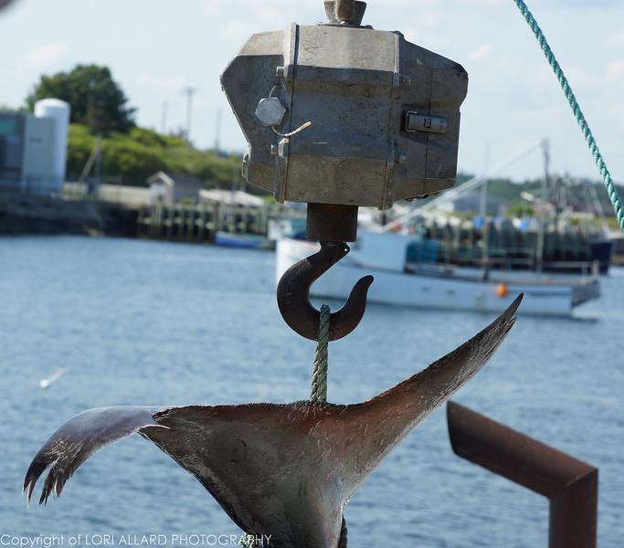 Lockeport Shark Derby, Nova Scotia<br /> The biggest Blue Shark weighed in 319 pounds.