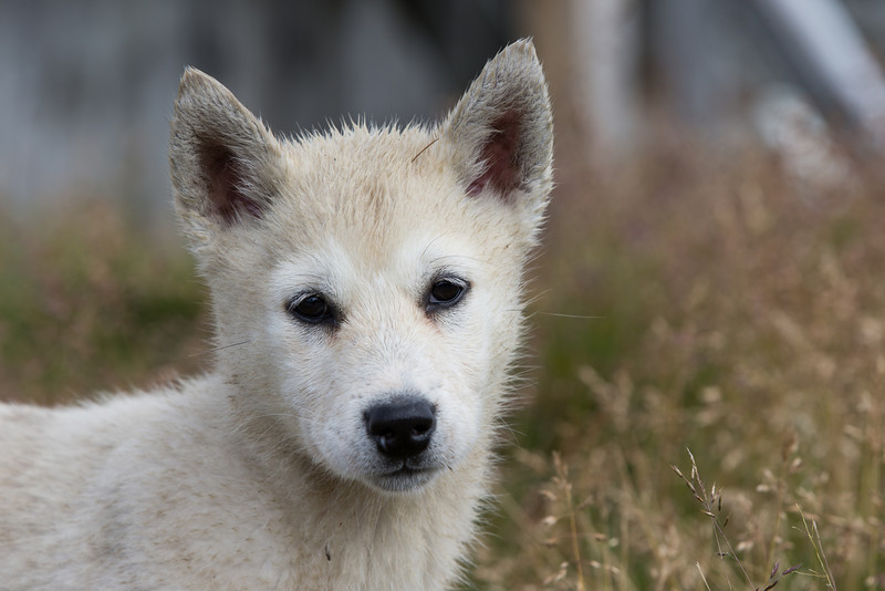 A sled dog puppy in Itilleq, Greenland