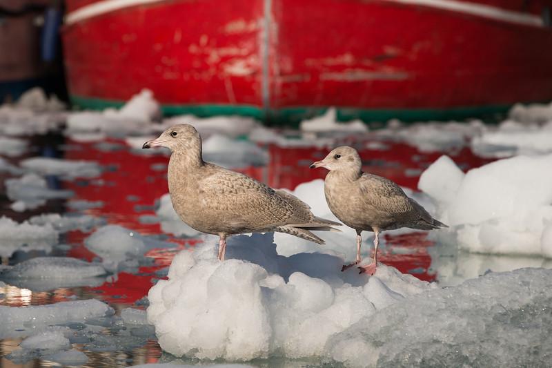 Juvenile gulls at Ilulissat, Greenland