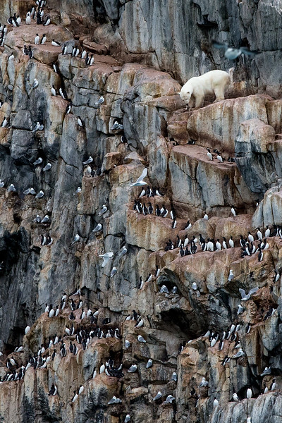 Polar bear on a bird cliff, Coburg Island, Nunavut