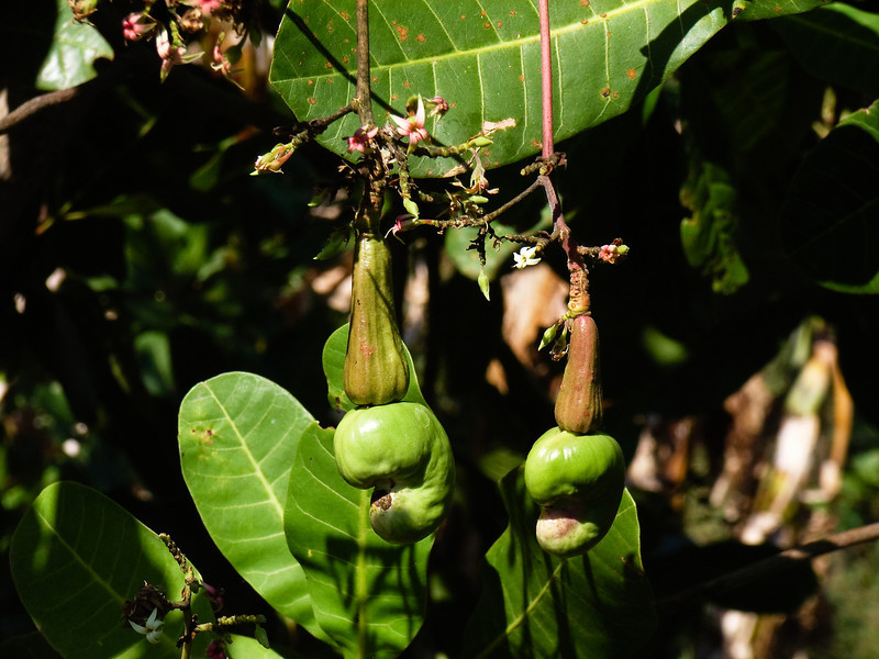 Almonds, Flores