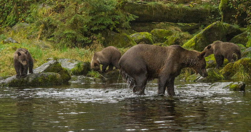 Evening at Anan Creek lagoon with mama bear foraging for her brood of three healthy looking spring cubs