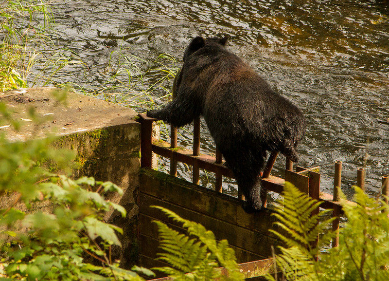 Anan creek black bear climbing a abandoned fish ladder. Bear has a salmon in her mouth and is looking for a safe place to eat it.