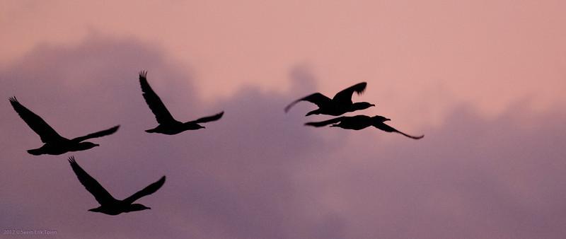 Grat black cormorants in flight<br /> Nyksund, december 2012