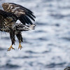 Sea eagle takeoff II<br /> Nyksund