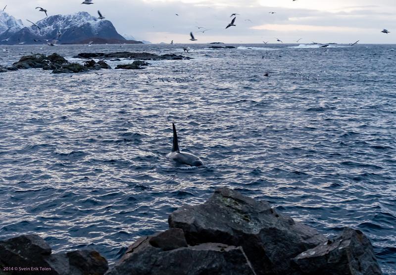 Whale-watch Nyksund