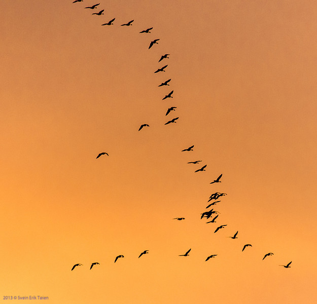 Geese heading north for the summer, passing over Nyksund in may