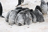 Adelie chicks huddled together to keep warm during this summer snowstorm.