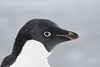 Adelie penguin portrait taken while it's snowing.