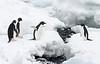 Adelie penguins on Paulet Island, Antarctica.