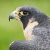 Captive Peregrine Falcon_1476