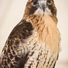 Captive Red-tailed Hawk_9961