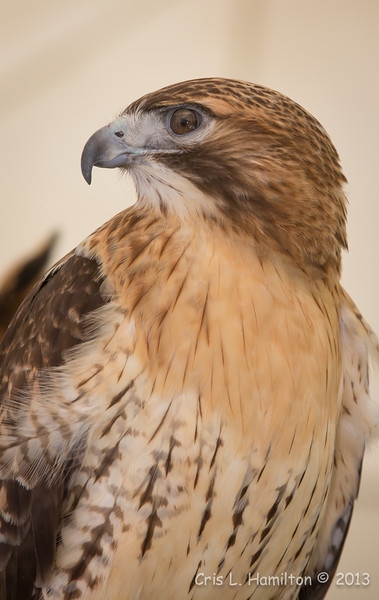 Captive Red-tailed Hawk_9960