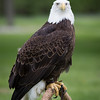 Captive Bald Eagle_9847