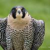 Captive Peregrine Falcon_1436