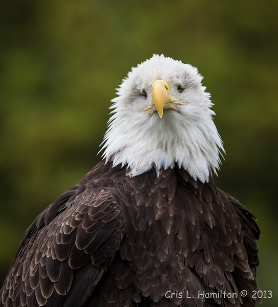 Captive Bald Eagle (blind)_9856