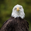 Captive Bald Eagle (blind)_9856