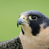 Captive Peregrine Falcon_9834