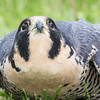 Captive Peregrine Falcon_9895