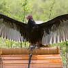 Captive Turkey Vulture_0023