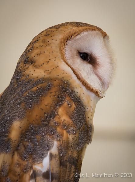 Captive Barn Owl_9944