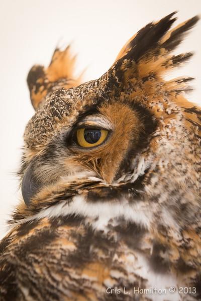 Captive Great Horned Owl_9913
