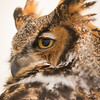 Captive Great Horned Owl_9913