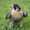 Captive Peregrine Falcon_9879