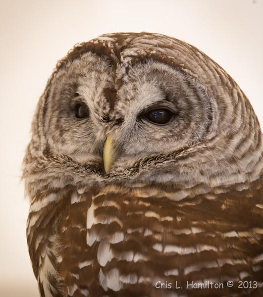 Captive Barred Owl_9933